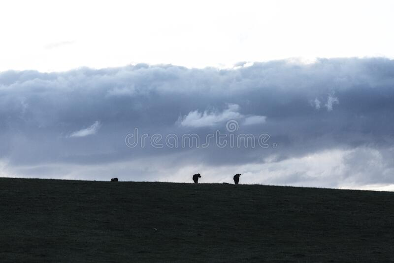 Cows in Field and Hills at Sunset. Cows in Field and Hills of Surrounding Farmland at Sunset royalty free stock photo