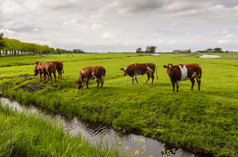 Cows in the field, Holland royalty free stock image