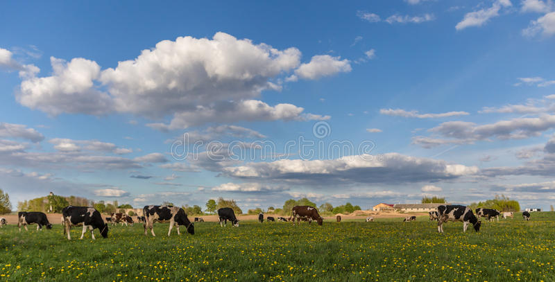 Cows on the field stock image