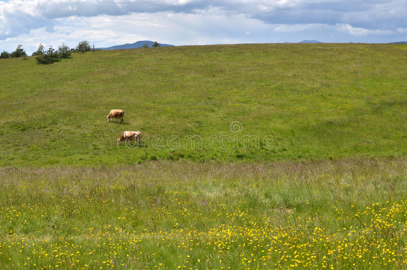 Cows on Field in Spring Time royalty free stock images