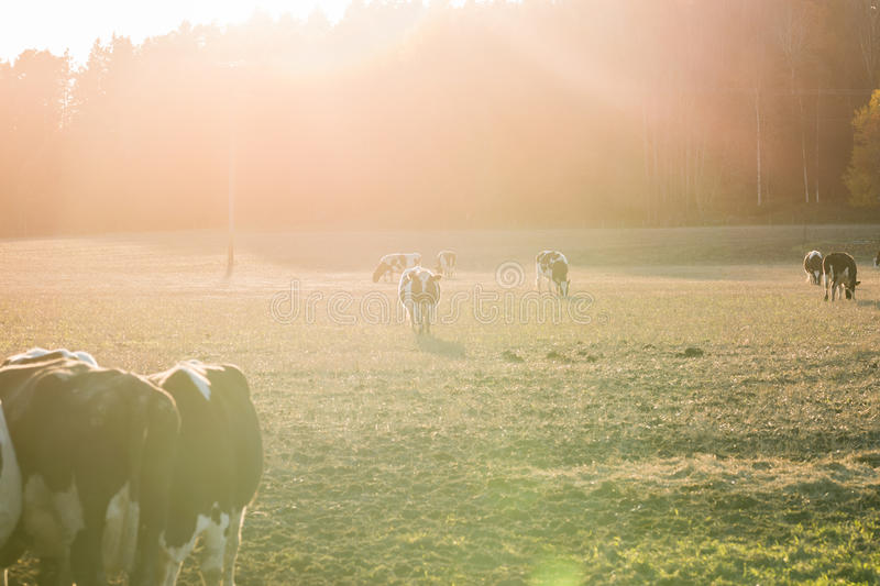 Cows on a field during sunset. Picture of cows on a field during sunset. Amazing light stock photography