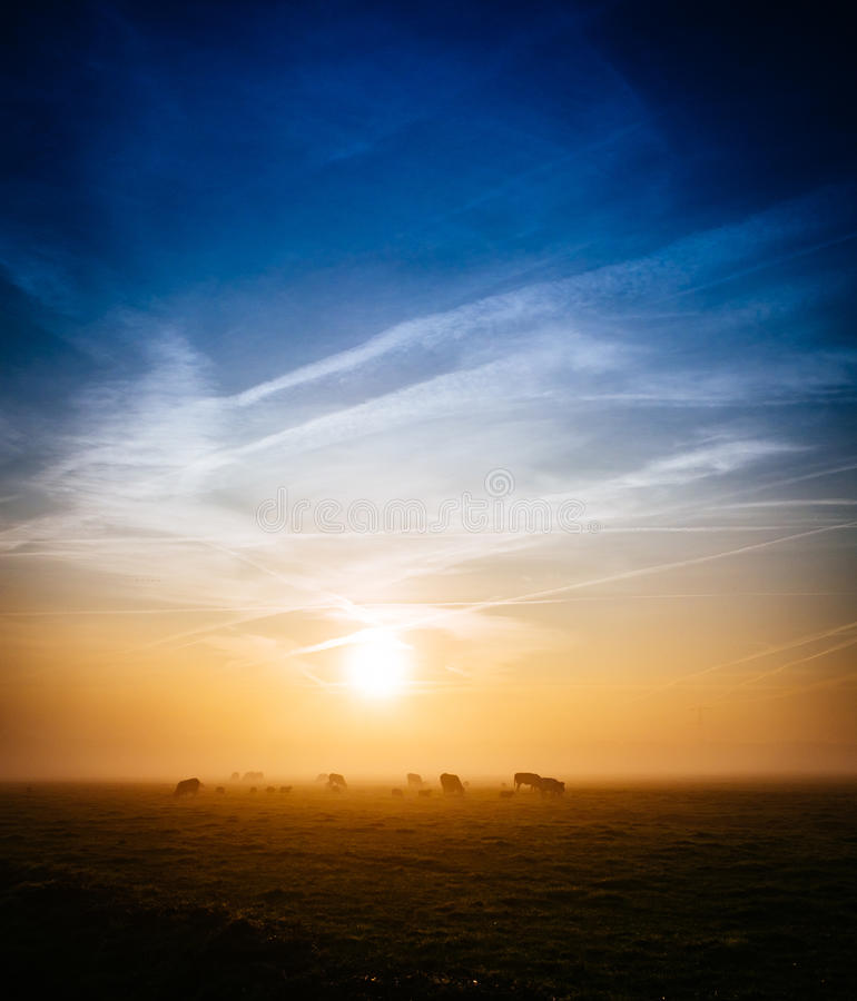 Cows in field at sunset royalty free stock images