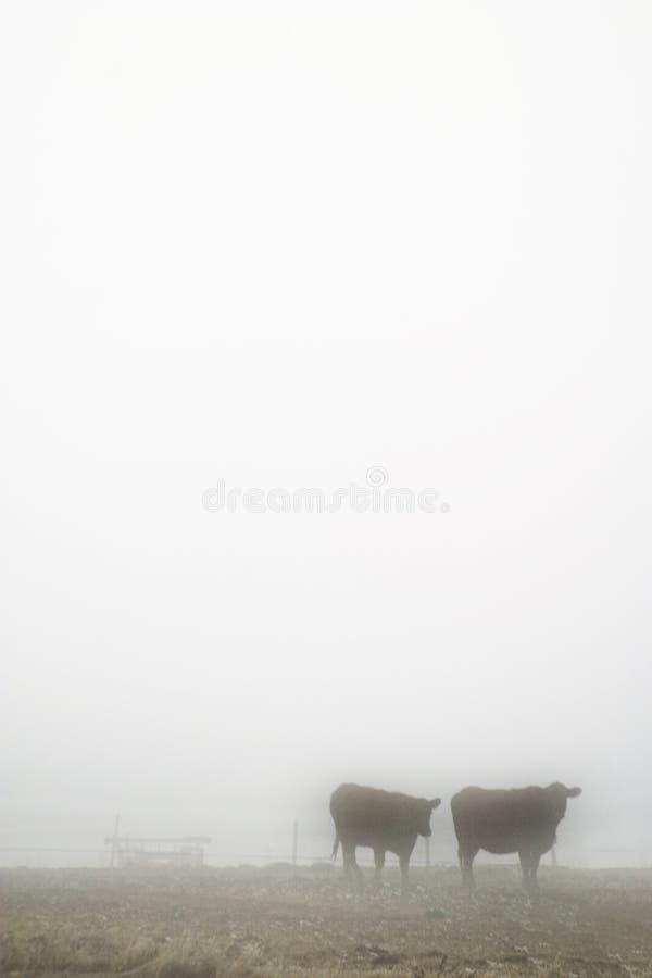 Download Cows in Fog stock photo. Image of prairie, animal, haze - 458348
