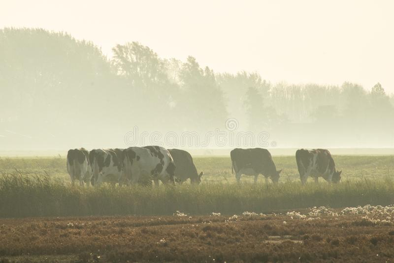 Cows in the fog stock images