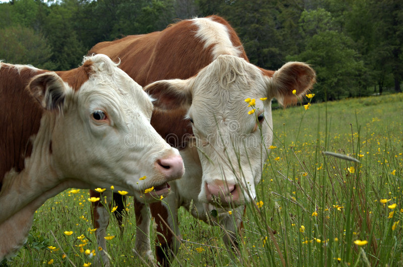 Cows gossiping. These two herford cows appear to be gossiping in this series of three images royalty free stock images
