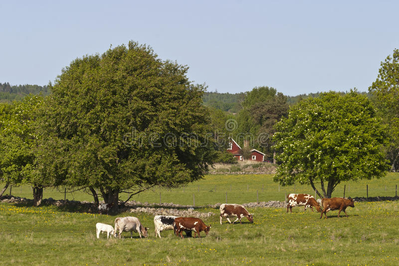 Download Cows graze stock image. Image of country, scenery, scandinavia - 24526523