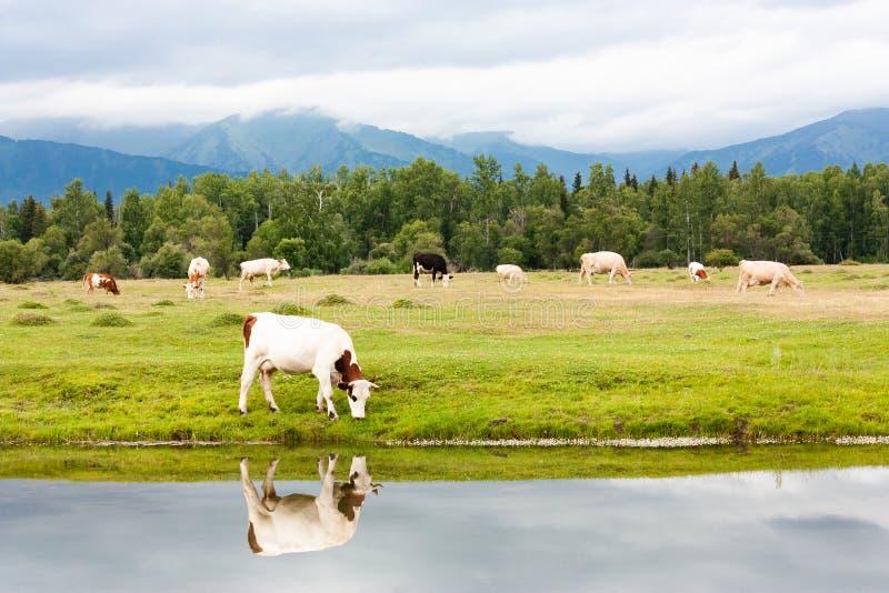 Cows graze in an alpine meadow near a beautiful lake. Eat fresh green grass. Mountains, morning fog royalty free stock photos