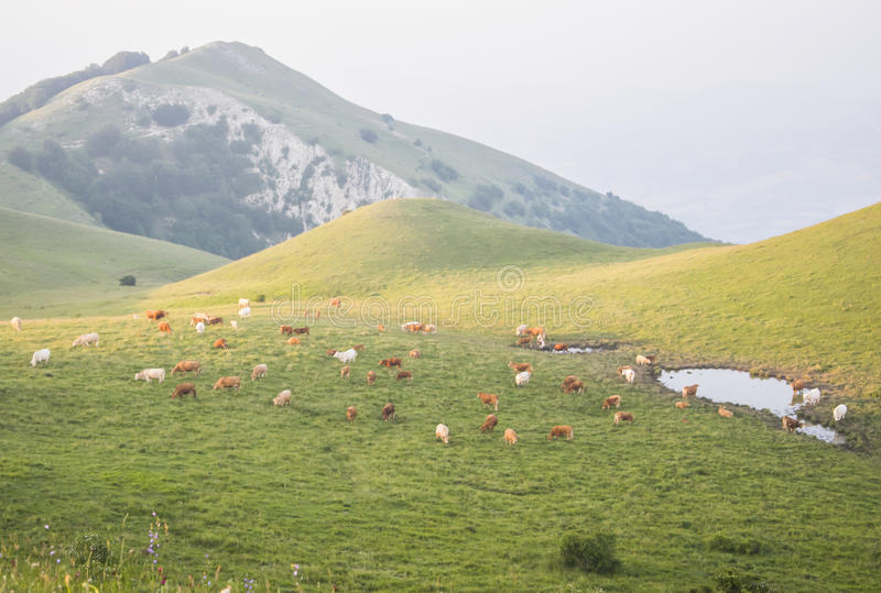 Cows graze on a beautiful mountain landscape. Cows graze on a beautiful mountain landscape at sunset on a summer day royalty free stock photos