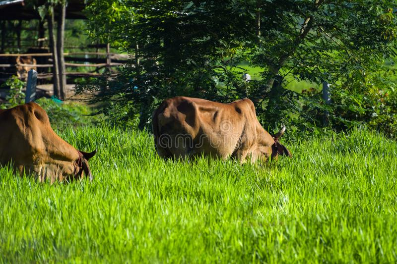 Cows graze on the farm, morning sunlight, green grassland, livestock in Thailand. Agriculture, animal, background, beast, beef, black, blue, breeding, cattle stock photo