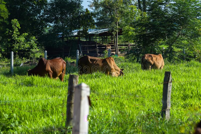 Cows graze on the farm, morning sunlight, green grassland, livestock in Thailand. Agriculture, animal, background, beast, beef, black, blue, breeding, cattle stock images