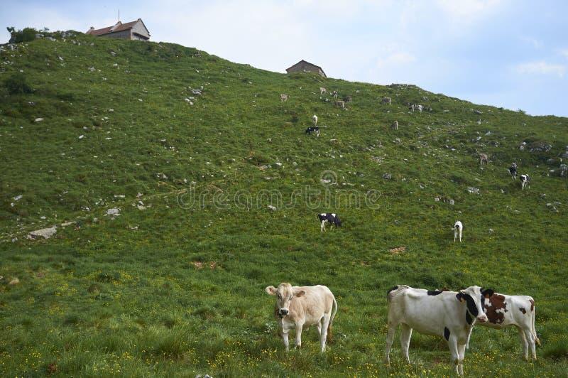 Cows graze in a field stock photo