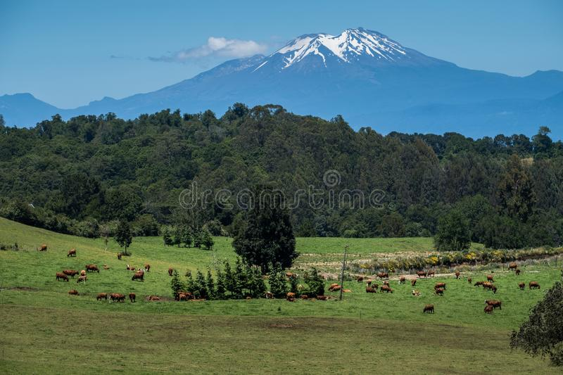 Cows graze on the green pristine field. With snow caped volcano on the background royalty free stock images