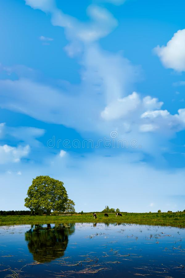 Cows graze on a meadow near the pond royalty free stock images