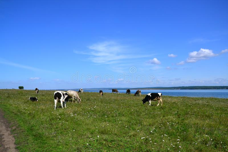 Cows graze in the pasture on a summer day. Pasture by the Bay. Lush green grass. royalty free stock photo