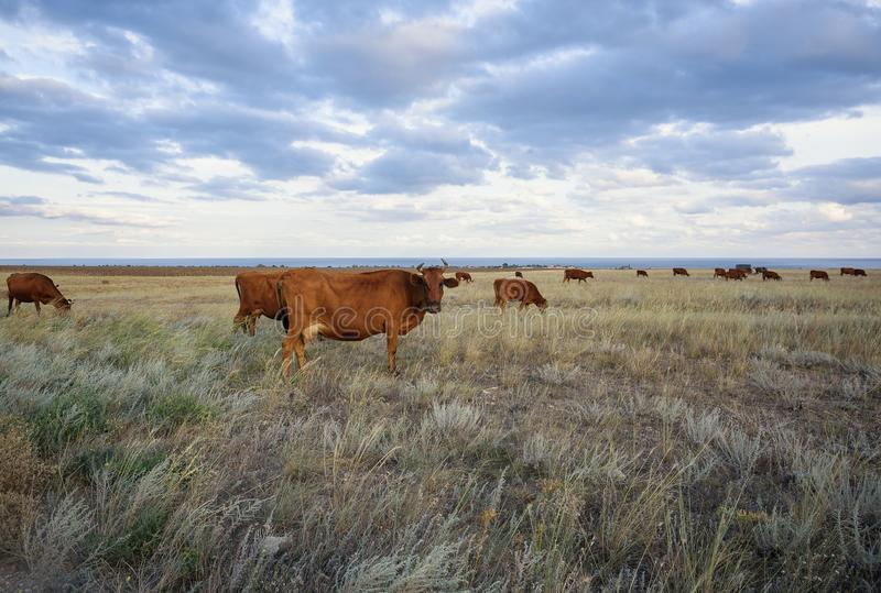 Cows graze in the steppe at sunset light stock photo