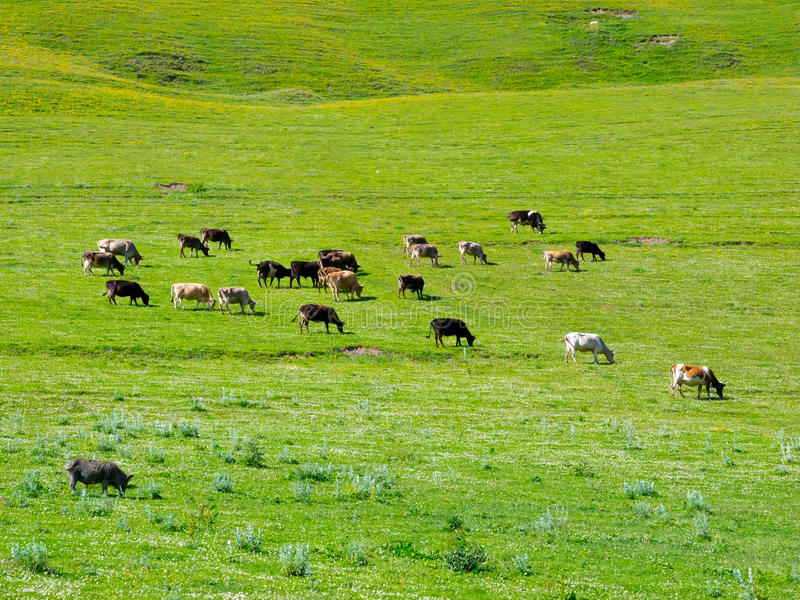 Download Cows Graze In The Valley River Enguri In Svaneti Stock Photo - Image: 32712292