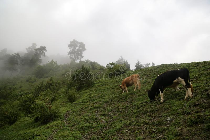 Cows grazes on a mountain slope in a fog stock photo