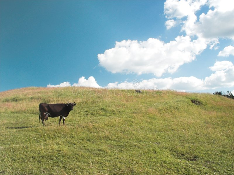 Download Cows on grazing (1) stock photo. Image of hill, clouds - 180346