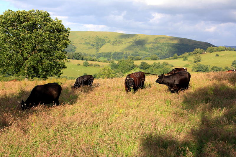 Cows Grazing stock image