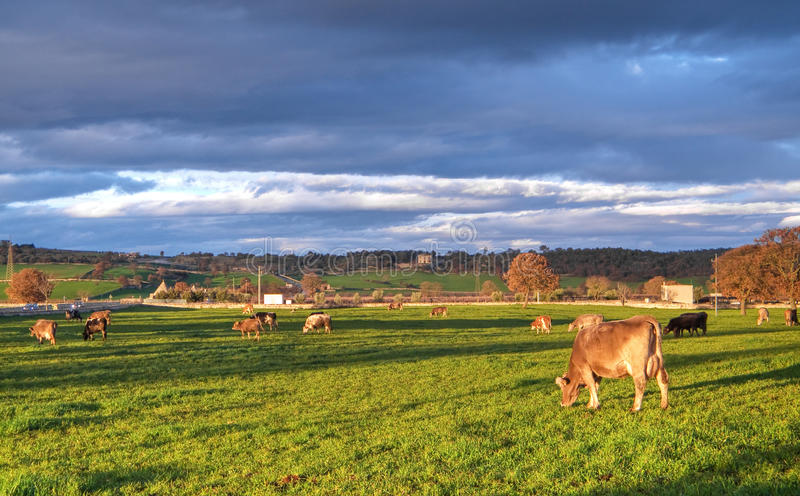 Download Cows Grazing. Stock Image - Image: 12504501