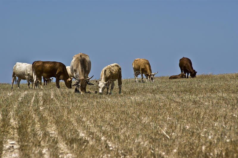 Download Cows grazing stock photo. Image of land, countryside - 17567650