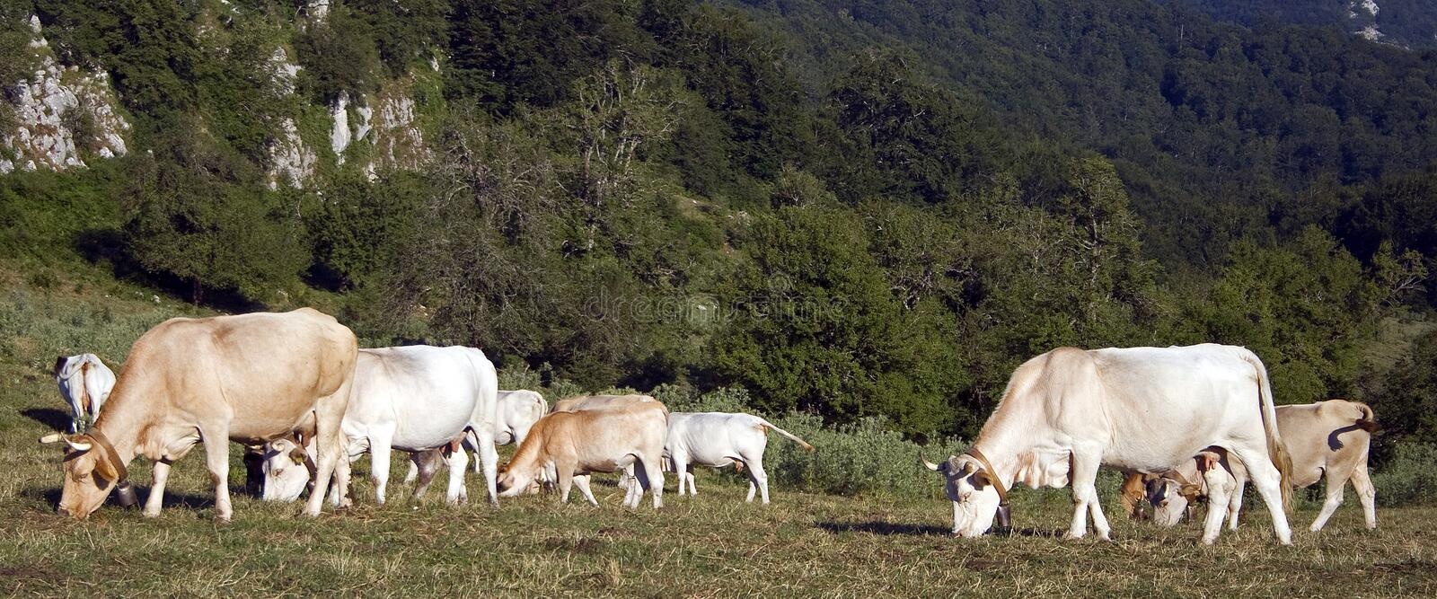 Download Cows Grazing Royalty Free Stock Image - Image: 17747126