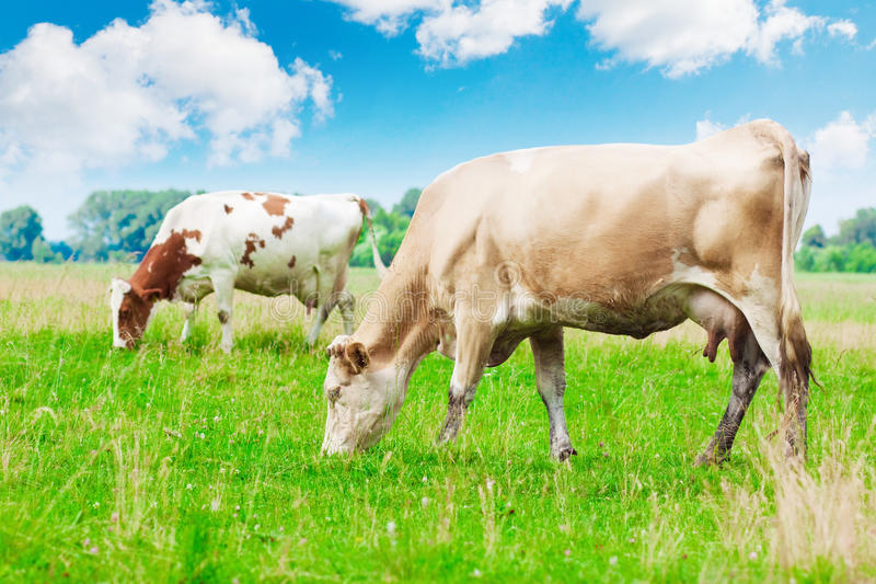 Download Cows grazing stock photo. Image of green, black, mammal - 25223826
