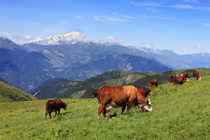 Download Cows grazing stock photo. Image of feed, domestic, mountain - 26425956