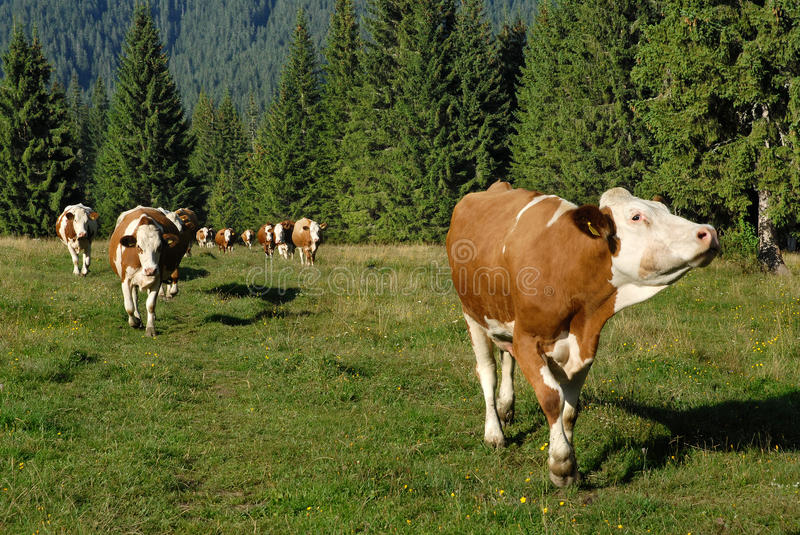 Download Cows grazing stock photo. Image of natural, pine, spotted - 27240234