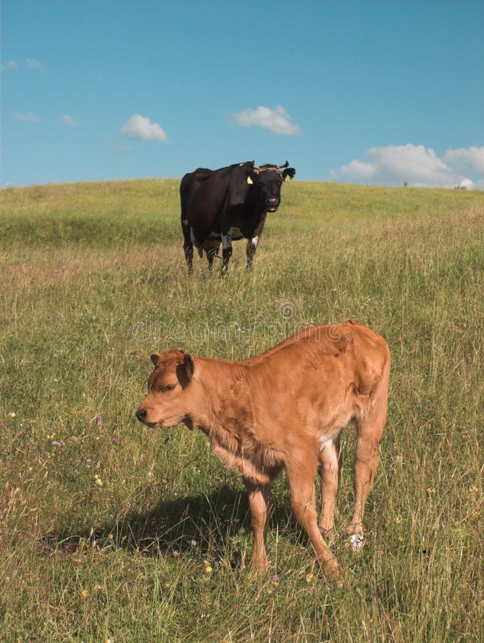 Download Cows on grazing (6) stock image. Image of hill, grazing - 187843