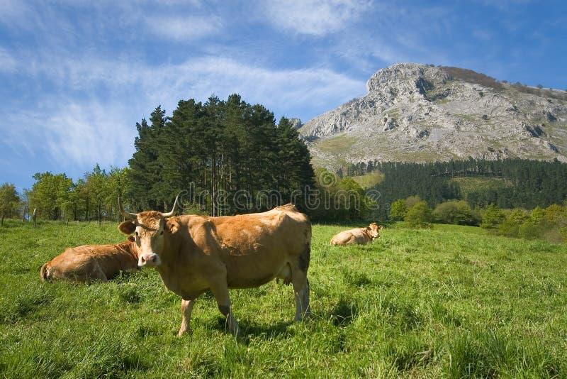 Cows grazing, Abadino, Bizkaia. Cows grazing in Abadino, Bizkaia, Basque Country, Spain stock photography