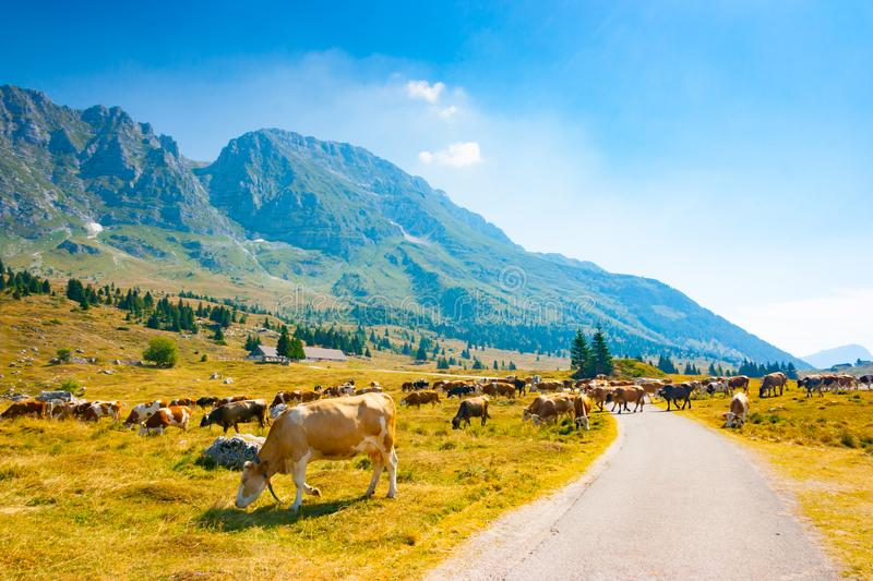Cows grazing alongside the road in Montasio Plateau. Cows grazing in the pastures alongside the road of Montasio Plateau in Julian Alps during the summer, Sella royalty free stock photography