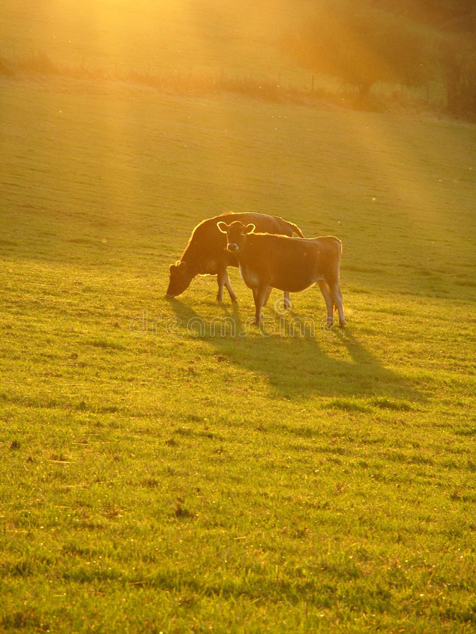 Cows grazing in autumn sun royalty free stock images