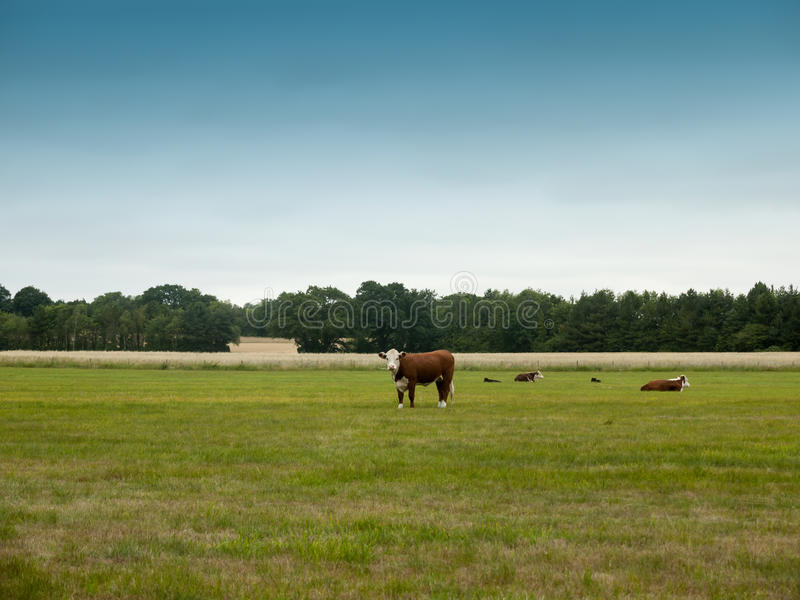 Cows grazing in a country farm field. Essex; UK stock images