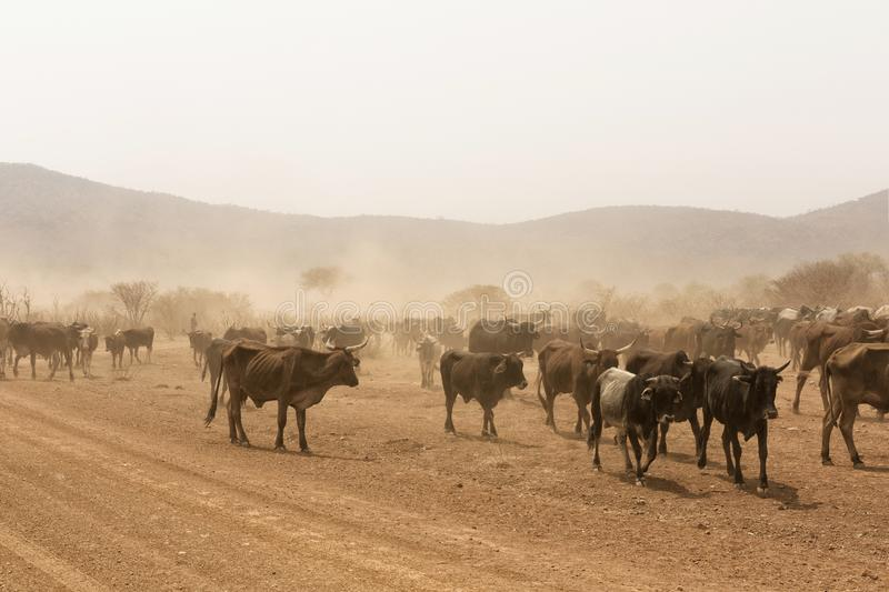 Cows grazing in the desert Namib Namibia Africa royalty free stock image