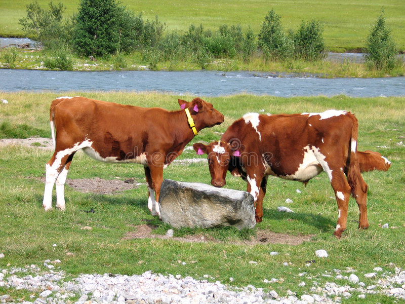 Download Cows Grazing In A Field Stock Photo - Image: 4646990