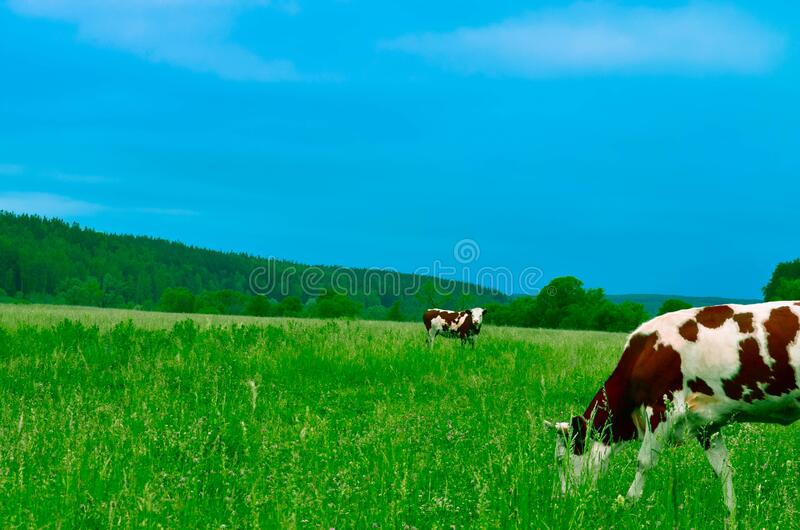 Cows Grazing On Field Against Sky Free Public Domain Cc0 Image