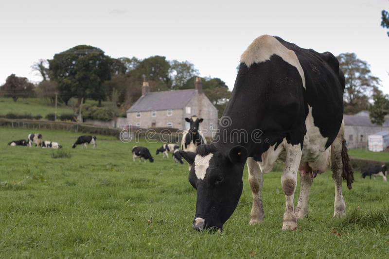 Cows grazing in field royalty free stock photos
