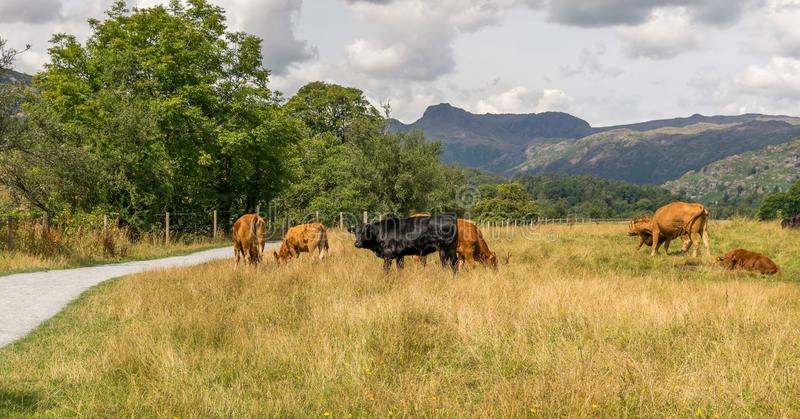 Cows grazing in a field with mountains. royalty free stock photography