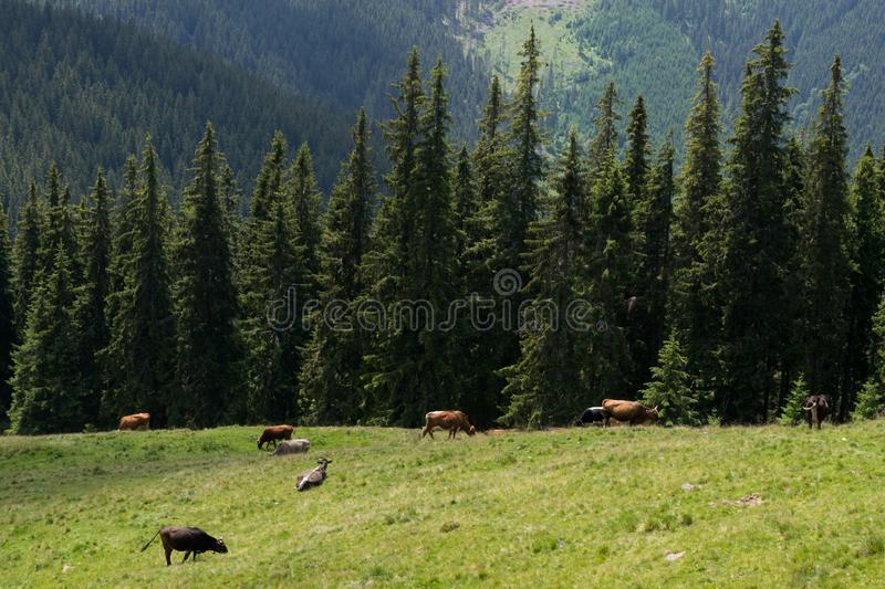 Cows grazing on a field in summer stock images