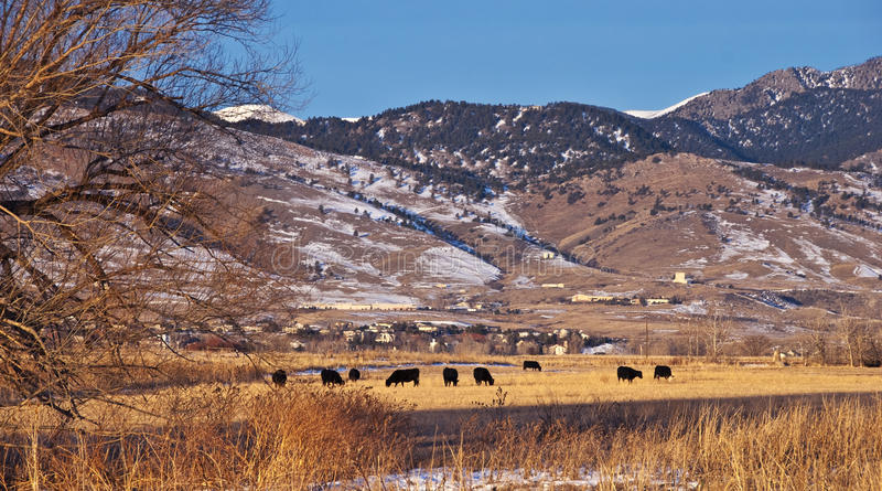 Download Cows Grazing In A Field In Winter Stock Image - Image: 12629515