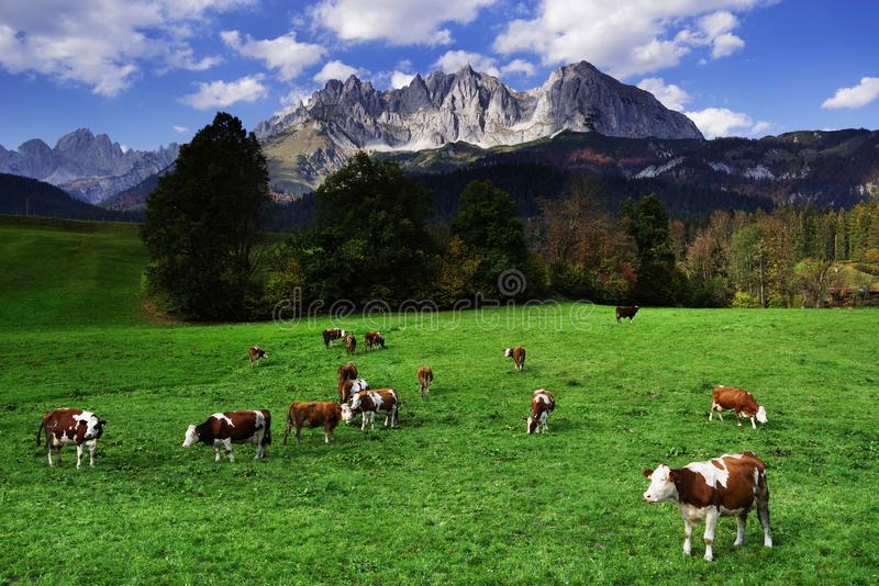 Cows grazing in front of the Wilder Kaiser Mountains in a sunny autumn day. The Kaiser Mountains or just Kaiser, are a mountain range in the Northern Limestone royalty free stock photo