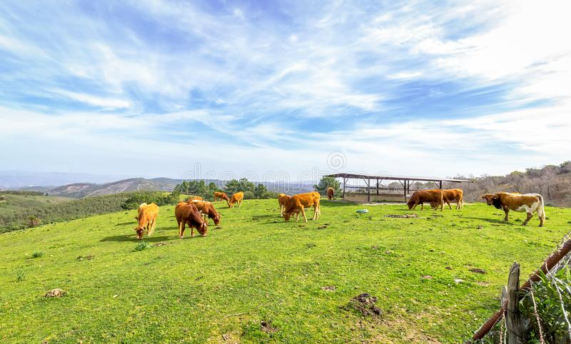 Cows grazing on green field with fresh grass under blue sky royalty free stock images