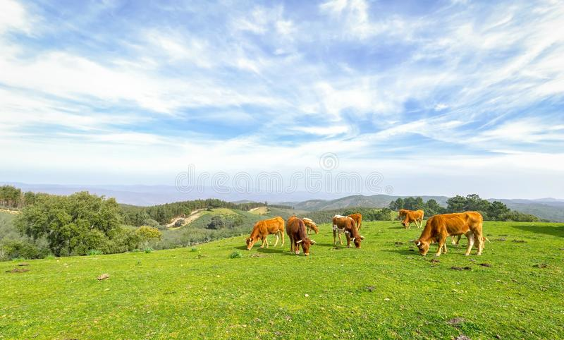 Cows grazing on green field with fresh grass under blue sky stock photos