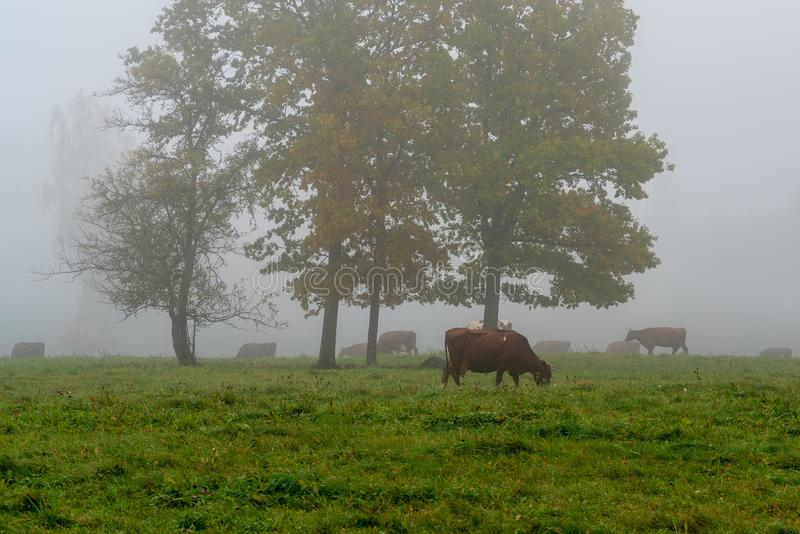 Cows grazing in the green field royalty free stock images