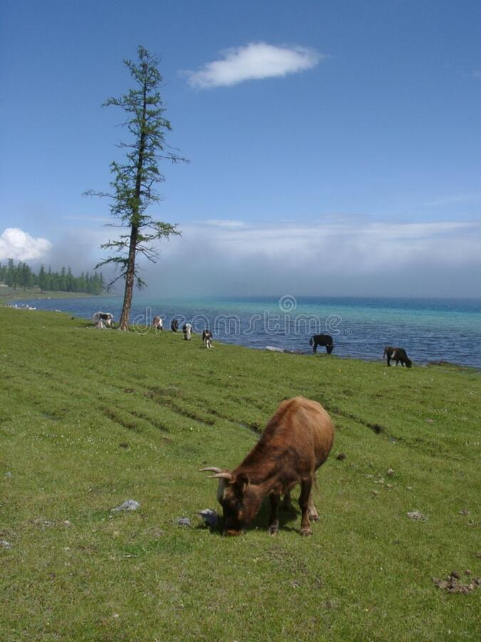 Cows grazing in green field royalty free stock image
