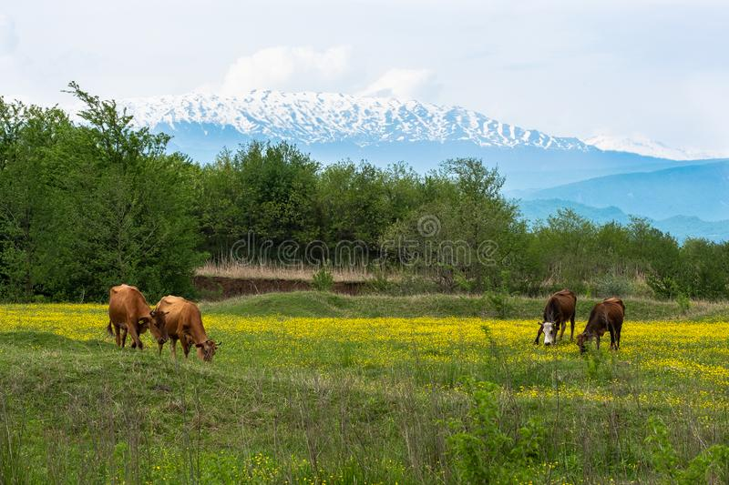 Cows grazing on a green meadow with mountains in the background stock photo