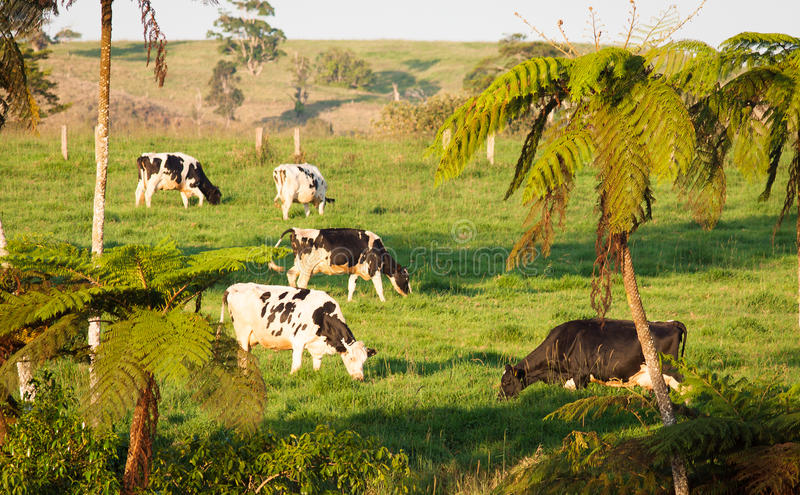Cows grazing in green pasture stock photography