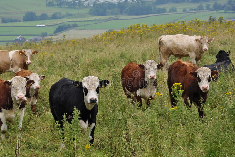 Cows grazing in high grass royalty free stock photography