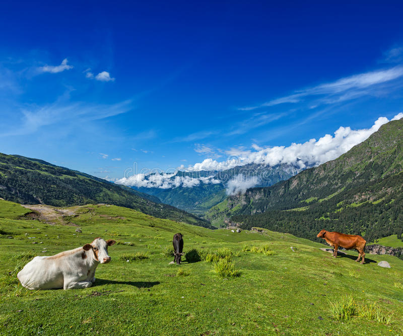 Download Cows grazing in Himalayas stock image. Image of outside - 30725107